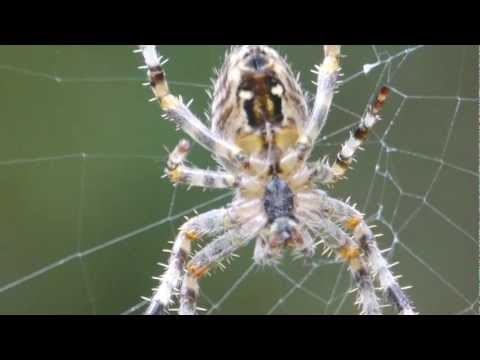 Spider Web Construction in Slow Motion