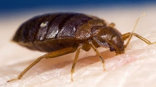 7 Effective Home Remedies For Bed Bugs (GET RID OF THEM FAST!)