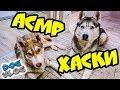 DOGVLOG АСМР ЛОВИТЕ МУРАШКИ РОЗЫГРЫШ РЮКЗАКА Хаски Бандит Говорящая собака mp3