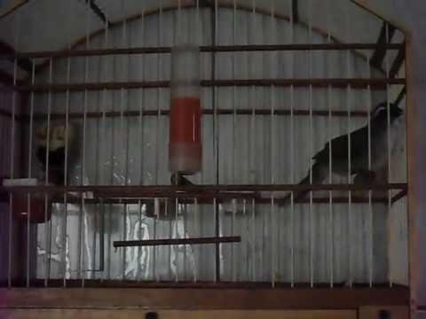 Trinca Ferro Rapido - Sertãozinho video