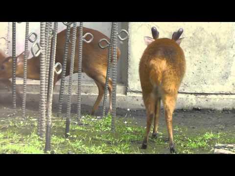 2011年7月4日 旭山動物園 キョン一家1