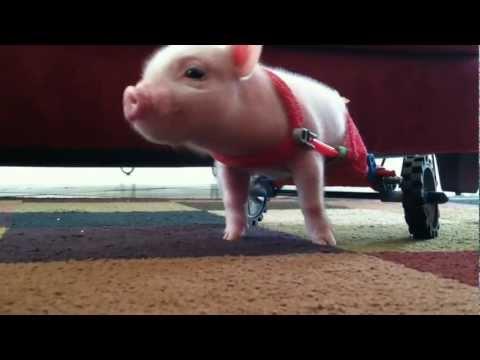 足の不自由な生後10日の子豚が車いすで懸命に頑張る姿に心打たれる!