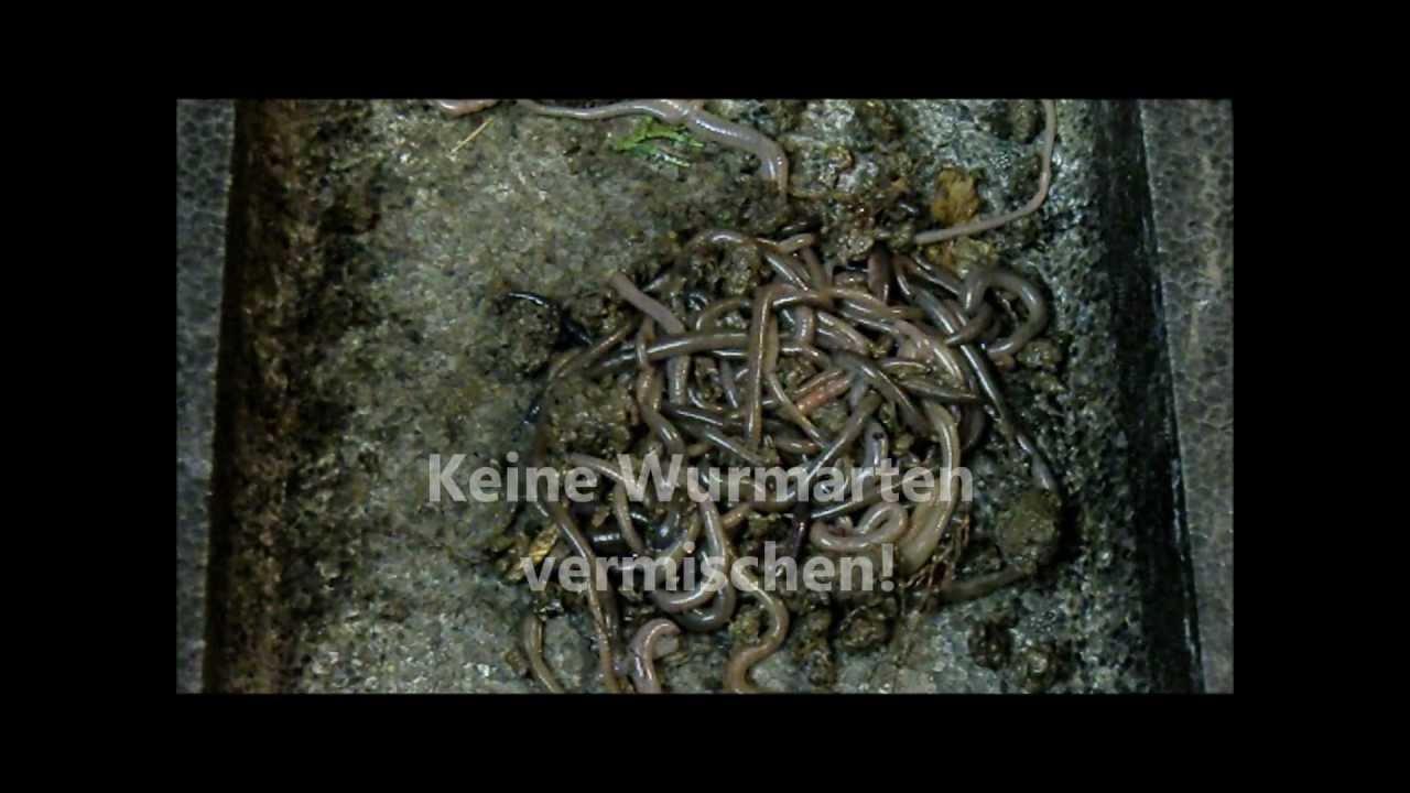 Würmer Haben Menschliche Krankheit