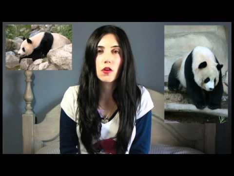 Leyendas sobre osos panda