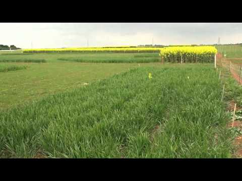 Cereals 2013 trial plots preview