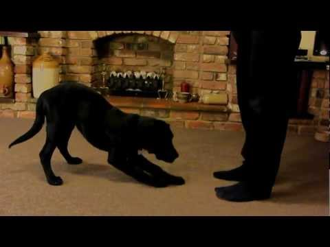 16 week intelligent Labrador puppy tricks. dog training