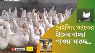 বেকারদের বলছি-বেইজিং জাতের হাঁস পালন অধিক লাভ, নওগাঁয় হাঁসের বাচ্চা উৎপাদন ও বিক্রি চলছে, Duck farm