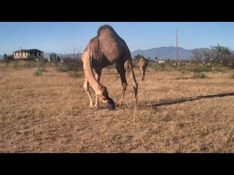 Camels & Doberman play with a ball