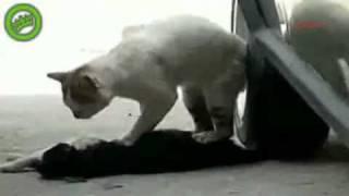incredibil !!! o pisica incearca sa resurciteze o alta pisica calcata de masina