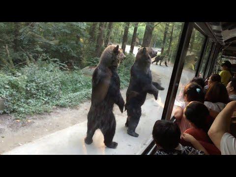 2足歩行の熊たちがバス越しに観光客にエサをおねだり♪