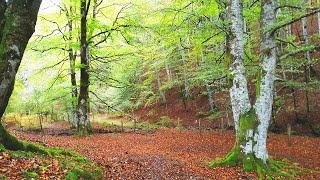 4K Forest (8D Audio) 🌳 ASMR Nature Therapy 🌳 Relaxing Meditation and sleep forest sounds