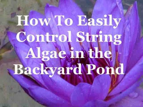 Easy Mechanical Control of String Algae in Your Backyard Pond
