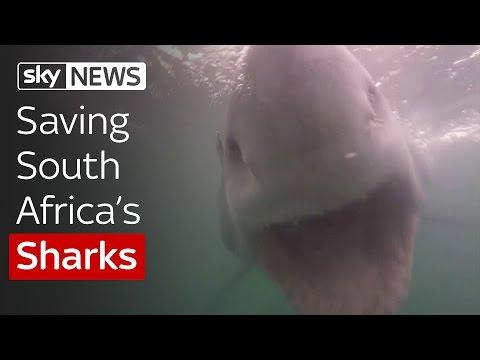 Saving South Africa's Sharks