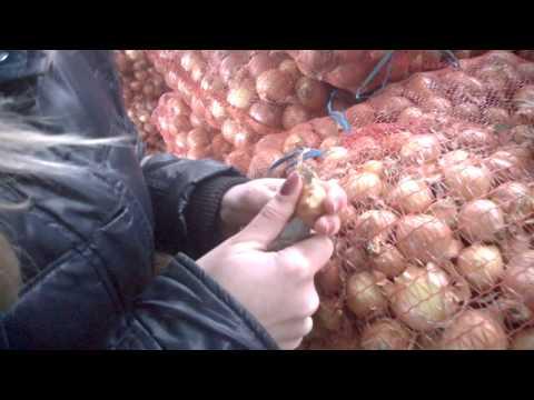 Как выбрать лук для посадки на перо