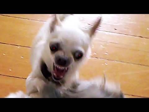 Crazy Killer Chihuahua Attacks Bigger Dog Youtube