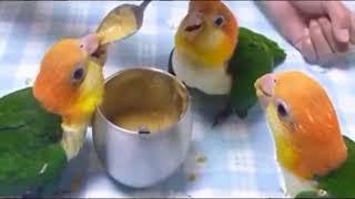Real Cute Parrots Video Parrots dancing  a funny parrot videos compilation    new hd