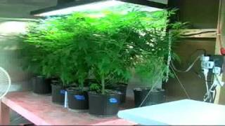 Marijuana grow house in Stuart