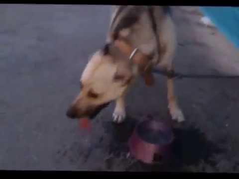 Собаку бросили на выходные на цепи без воды и еды