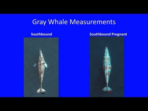 Gray Whales in a Changing Environment