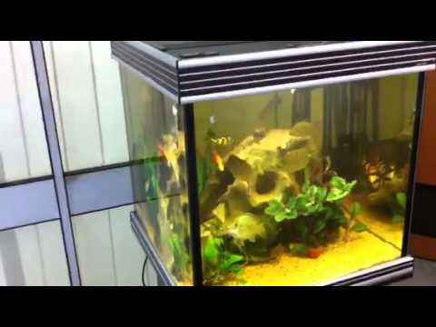 Cloudy water problems in the noble cichlid aquarium youtube for Yellow fish tank water