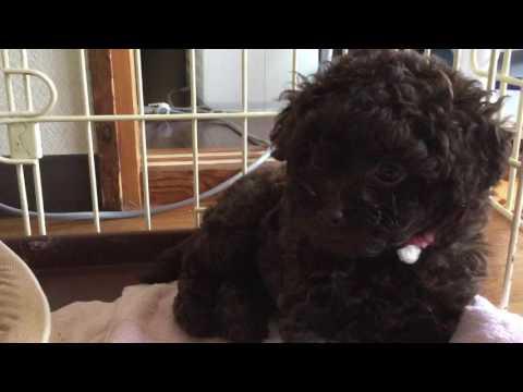 トイプードルの子犬 6月29日(生後52日) 千葉