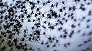 Spinnen-Babies regnen in Australien vom Himmel !