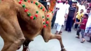 young camel qurbani | eid ul azha | bakra eid