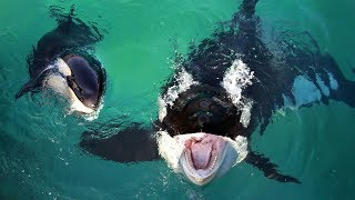"World's First Talking Killer Whale Can Say ""Hello"" and ""Bye Bye"""
