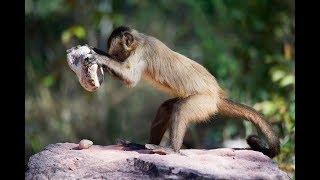 Panamské opice vstoupily do doby kamenné - Proč to řešíme? #380