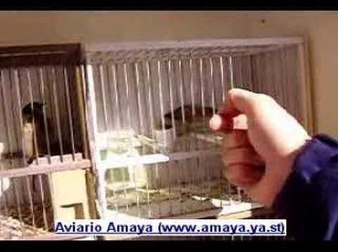 Aviarioamaya - Jilguero 02