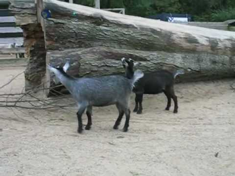Goats, Geder, A day at the Zoo, 2010-09-24, Freeware