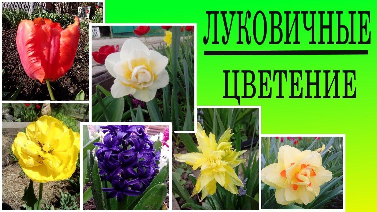 Каталог луковичные цветы для сада