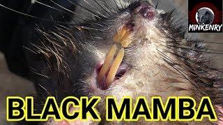 Building Muskrat Hunting Drive   Episode 14- Black Mamba: Born to Hunt