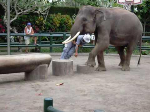 Флер де Санте на о. Бали Выступление слонов.wmv