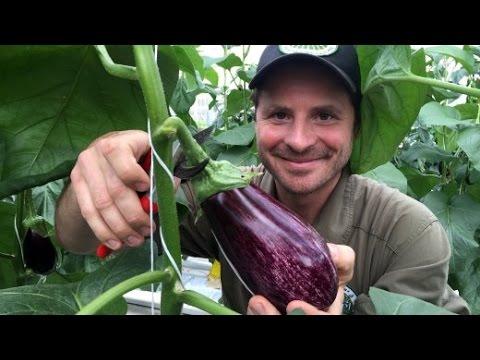 Erste Aquaponik-Farm Europas: Rosébarsche, Die Auberginen Düngen