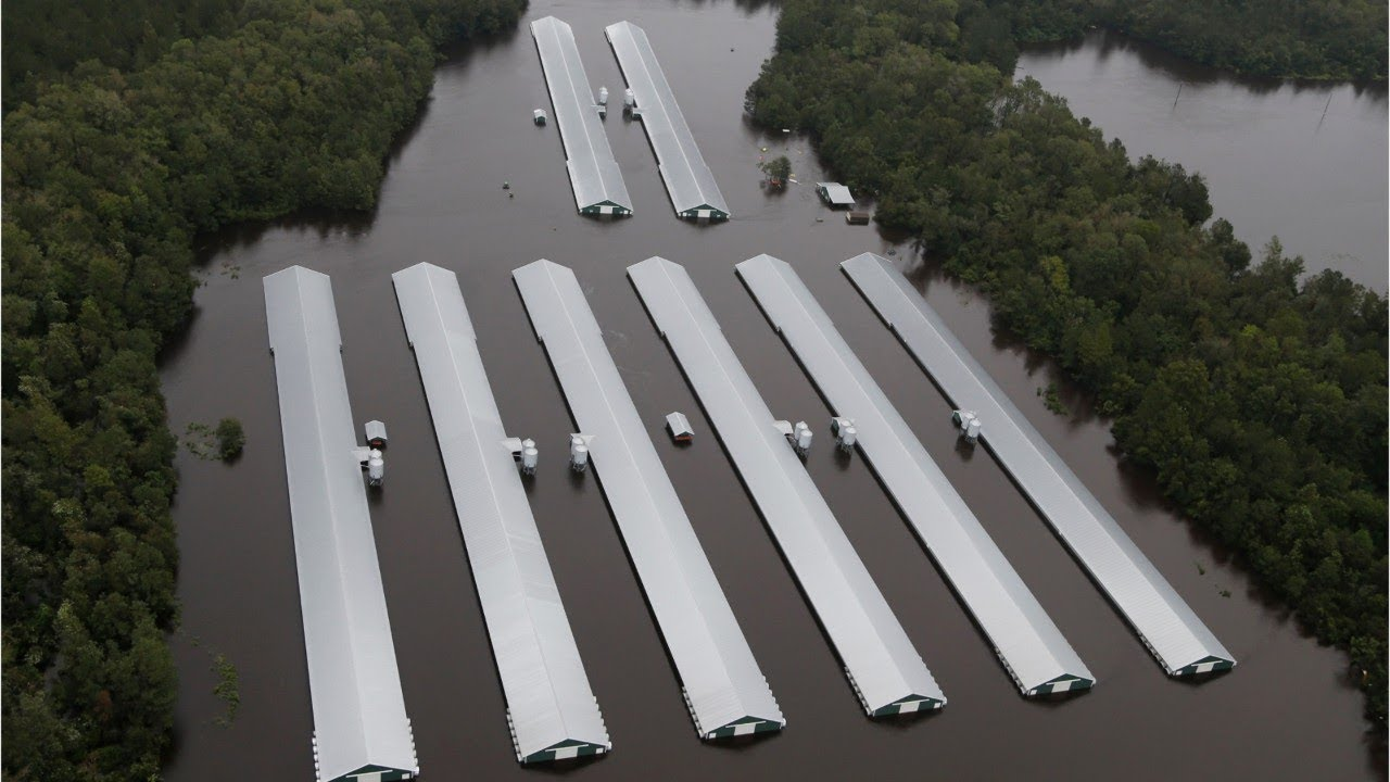 1.7 million chickens have drowned in Florence's floodwaters