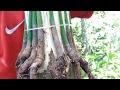 cara Susun akar/himpit akar pohon mangga....mango grafting tree