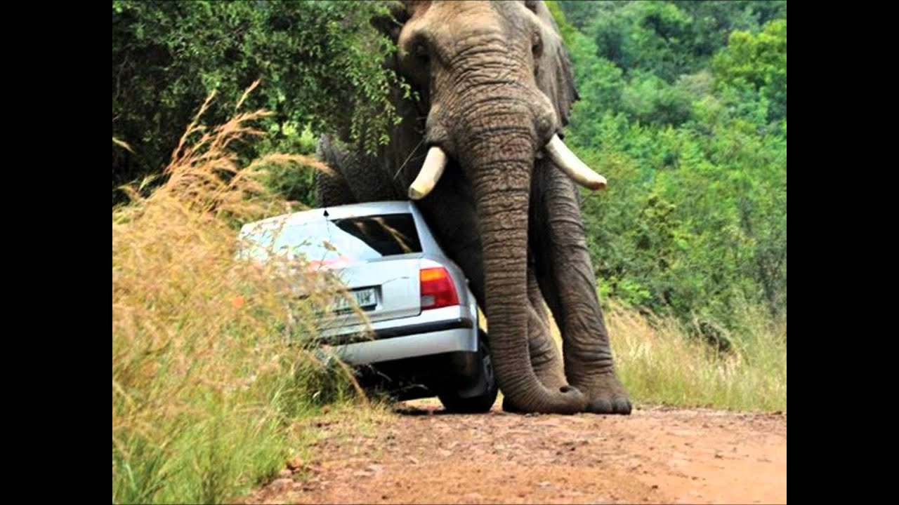 Road Rage Car Wreck Owned By African Bull Elephant Pwned