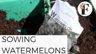 Sowing Watermelon Seeds in Unheated Greenhouse - Seed Starting for Beginners Vegetable Gardening