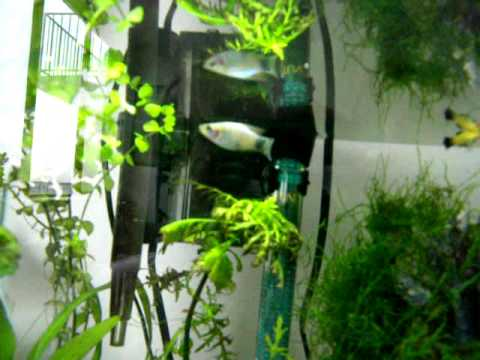 Tankmates for betta fish youtube for What fish are compatible with betta fish