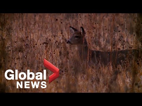 It eats holes in the animals brain: Zombie Deer Disease causing stir in US midwest SK AB QC