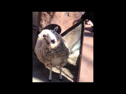 「オイっちょっと背中掻いてクレヨ!」と注文を付けるチョイ悪な羊を発見♪