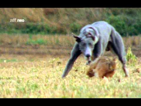 Hase vs. Hunde