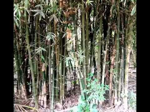 Beautiful bamboo forest from rural Barrackpore in India