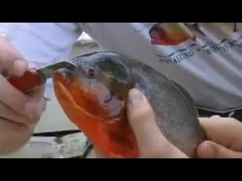 Fish - piranhas will even try and bite through metal - Ultimate Killers - BBC wildlife