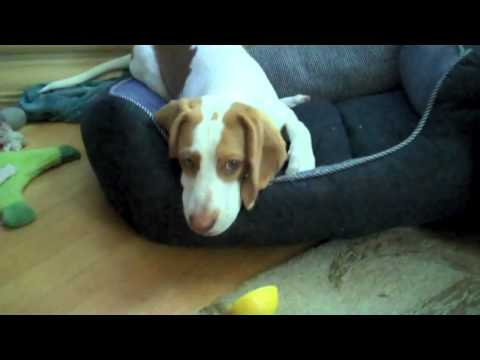Beagle vs. limon - Lemon Beagle vs. Lemon (lucha contra el limon)