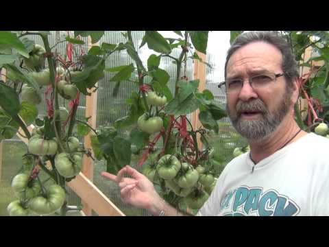 The importance of supporting the Pink Brandy Wine Tomatoes and some reservoir tips :)