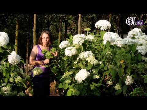 Живая изгородь своими руками (растения и выращивание)