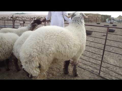 الجرم اكبر خروف في العالم world's biggest sheeps Music Videos