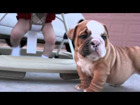 English Bulldog Puppies & Baby
